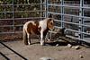 <center>Miniature Horse <br><br>Glocester, Rhode Island