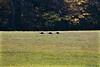<center>Wild Turkeys <br><br>Glocester, Rhode Island