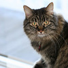 Mia, my late beautiful Maine Coon mix...