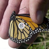 A Monarch is caught and tagged to record the distance that it will travel.<br /> Photo Ben French