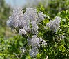 Ceanothus blooms<br /> Liebre Mountain<br /> May 3, 2020