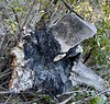 Burned tree root with embedded rock<br /> Ascending Mt. Lukens.<br /> February 24, 2021