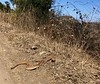 Western Diamondback Rattle Snake distinctive tail<br /> Santiago Canyon, near Four Corners<br /> September 8, 2019