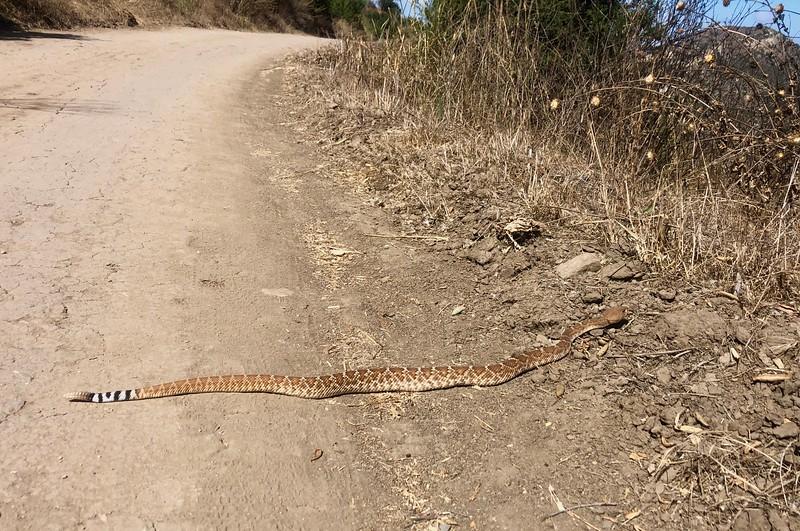 Western Diamondback Rattle Snake distinctive tail<br /> Santiago Canyon, near Four Corners<br /> September 8, 2019
