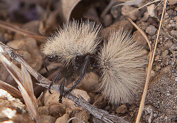 White Velvet Ant, Dasymutilla occidentalis<br /> Photo: Rick Flores
