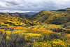 A huge valley full of millions of Lasthenia gracilis, aka Yellow-Ray Goldfields, blooms.  View looking west.