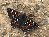 Butterfly: Apodemia virgulti, Behr's Metalmark<br /> ID thanks to Mike Couffer