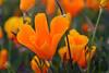 Eschscholzia californica, California Poppy
