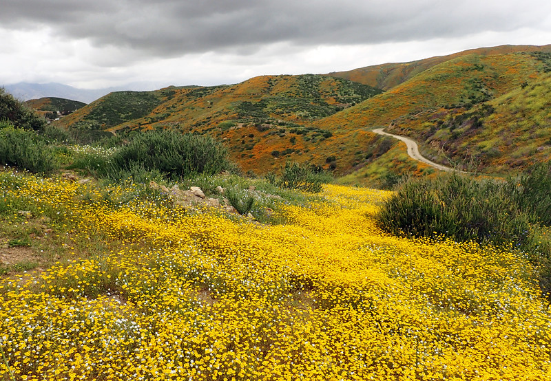 Lasthenia gracilis, aka Yellow-Ray Goldfields and Eschscholzia californica, California Poppies.