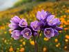 Dichelostemma capitatum ssp. capitatum, aka Blue Dicks (Wild Hyacinth, School Bells)