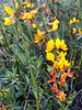 Acmispon glaber, aka Common Deerweed (California Broom)