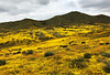 A huge valley full of millions of Lasthenia gracilis, aka Yellow-Ray Goldfields, blooms. View northward.