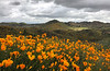 Eschscholzia californica, California Poppies.