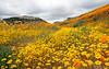 Lasthenia gracilis, aka Yellow-Ray Goldfields and Eschscholzia californica, California Poppies.