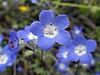 Nemophila menziesii, aka Baby blue-eyes