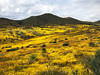A huge valley ablaze with millions of yellow Lasthenia gracilis, aka Yellow-Ray Goldfields, blooms.
