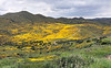 A huge valley full of millions of Lasthenia gracilis, aka Yellow-Ray Goldfields, blooms.  View looking north.