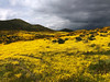 A huge valley full of millions of Lasthenia gracilis, aka Yellow-Ray Goldfields, blooms.