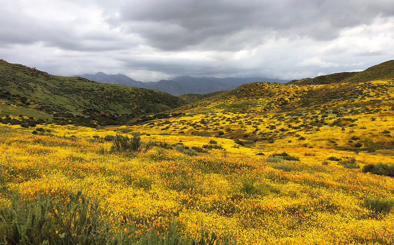 A huge valley full of millions of Lasthenia gracilis, aka Yellow-Ray Goldfields, blooms. Looking west.