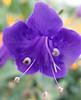 Phacelia minor, Wild Canterbury bells