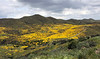 An amazing valley full of millions of Lasthenia gracilis, aka Yellow-Ray Goldfields, blooms.