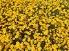 Lasthenia gracilis, aka Yellow-Ray Goldfields, blooms.