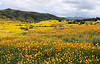 A huge valley full of millions of Lasthenia gracilis, aka Yellow-Ray Goldfields, blooms.  View looking southwest.