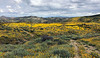 A huge valley full of millions of Lasthenia gracilis, aka Yellow-Ray Goldfields, blooms.  View looking south.