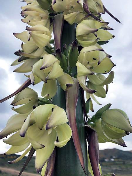 Hesperoyucca whipplei, aka Chaparral Yucca<br /> (Our Lord's Candle, Quixote Plant)
