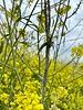 Bug infestation on mustard plant<br /> Raptor Ridge, Chino Hills<br /> April 21, 2021