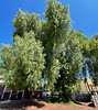 Willow Tree with leaves covering even the trunk<br /> September 15, 2021