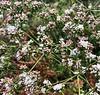 Eriogonum fasciculatum, California Buckwheat<br /> Chino Hills State Park, San Bernadino County, California<br /> June 1, 2019