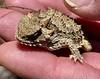 Ramon's pet, Horned Lizard, Phrynosomatidae<br /> Hidden Pond Trail<br /> Santa Monica National Recreation Area<br /> May 8, 2021