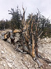 """Methuselah"", Bristlecone Pine, germinated around 2831 BC.<br /> An even older tree, over 5000 years old, is nearby."
