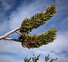 Detail of bristlecone pine needles<br /> Ancient Bristlecone Pine Forest