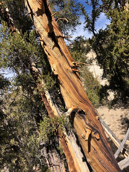 """It's amazing that these ancient trees, some dating back over 5000 years, have survived so long in such harsh, high altitude, xeric  conditions.<br /> <a href=""""https://www.livescience.com/29152-oldest-tree-in-world.html"""">https://www.livescience.com/29152-oldest-tree-in-world.html</a>"""