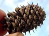 Bristlecone pine cone with protective bristle barbs.