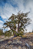 Magnificent bristlecone, backlit.<br /> HDR image by Rick Flores