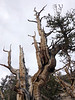 A bristlecone pine may appear dead, but part of it may still be alive, as in this photo. It's amazing that these ancient trees, some dating back over 5000 years, have survived so long in such harsh, high altitude, xeric conditions.