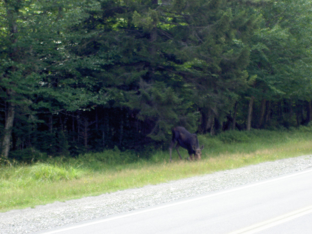 Moose in Pittsburg, NH