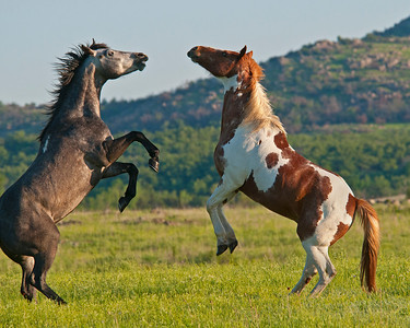 Domestic Horses, Wichita Mountains Wildlife Refuge, OK