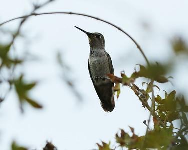 Hummingbird July 2016