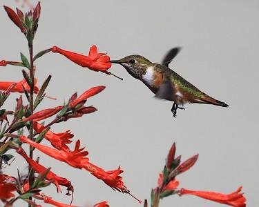 hummingbird Sept2016  085