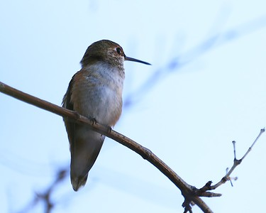 hummingbird Sept2016  014