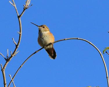 hummingbird Sept2016  030