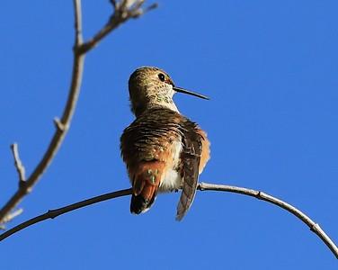 hummingbird Sept2016  052