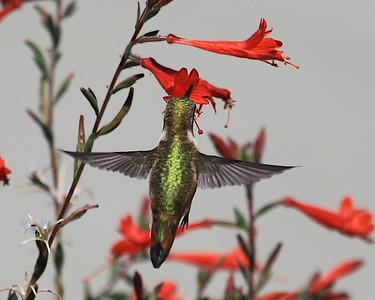 hummingbird Sept2016  091