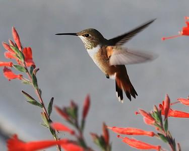 Hummingbird Sept 2016
