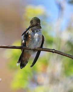 hummingbird Sept2016  113