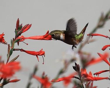 hummingbird Sept2016  078